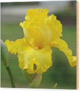 Yellow Iris Flowers Art Prints Cards Irises Summer Garden Landscape Wood Print