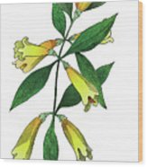 Yellow Jessamine Wood Print