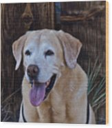 Yellow Lab At Bodie Wood Print