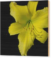 Yellow Lily Flower Black Background Wood Print