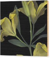 Yellow Lily On Black Wood Print