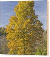 Yellow Maple Tree 1 Wood Print