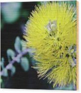 Yellow Ohia Flowers In Hawaii Wood Print