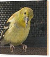 Lesser Female Goldfinch Having Lunch Wood Print
