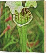 Yellow Pitcher Plant  In Huntington Botanical Gardens In San Marino-california  Wood Print