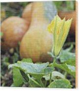 Yellow Pumpkin Flower Closeup Garden Autumn Season Wood Print