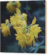 Yellow Rhododendron Flower Wood Print