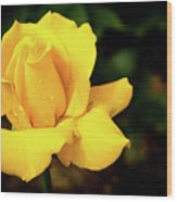 Yellow Rose - After The Rain Wood Print
