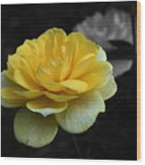 Yellow Rose In Bloom Wood Print