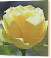 Yellow Rose In The Sun Wood Print