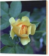 Yellow Rose With Purple Contrast 0357 H_2 Wood Print