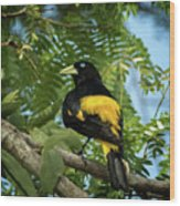Yellow Rumped Cacique Wood Print