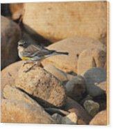 Yellow Rumped Warbler On River Rocks Wood Print