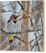 Yellow-shafted Northern Flicker Staying Warm Wood Print