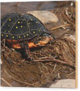 Yellow-spotted Turtle Crawling Through Wetland Wood Print