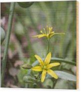 Yellow Star-of-bethlehem Wood Print