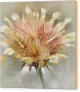 Yellow Star Thistle Wood Print