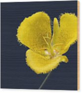 Yellow Star Tulip - Calochortus Monophyllus Wood Print