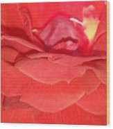 Yellow-striped Red Rose Wood Print