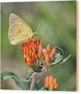 Yellow Sulphur Butterfly Wood Print