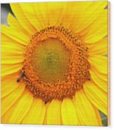 Yellow Sunflower With Bee Wood Print