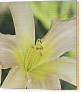 Yellow Tan Lily 1 Wood Print by Roger Snyder
