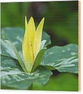 Yellow Trillium Flower Trillium Luteum Wood Print
