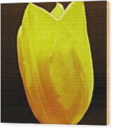 Yellow Tulip 3 Wood Print