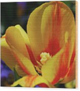 Yellow Tulip Blossom Streaked  With Red In The Spring Wood Print