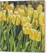 Yellow Tulip Panoramic Wood Print