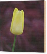 Yellow Tulip Perfection Ready To Blossom Wood Print