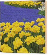 Yellow Tulips And Blue Muscari In Dutch Garden Wood Print