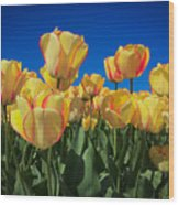 Yellow Tulips With An Orange Flare Wood Print