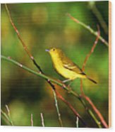 Yellow Warbler Galapagos Islands Wood Print
