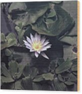 Yellow Water Lily Wood Print