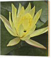 Yellow Waterlily With A Visiting Insect Wood Print