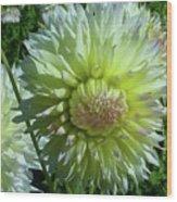 Yellow With White Dahlia Flower Wood Print