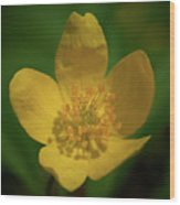 Yellow Wood Anemone 1 Wood Print