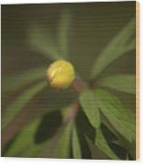 Yellow Wood Anemone 4 Wood Print