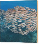 Yellowfin Goatfish Wood Print
