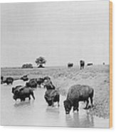 Yellowstone: Bison, C1905 Wood Print