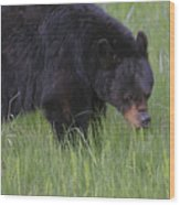 Yellowstone Black Bear Grazing Wood Print