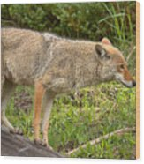 Yellowstone Coyote Scout Wood Print