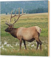 Yellowstone Elk Wood Print