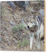 Yellowstone Grey Wolf Wood Print