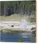 Yellowstone Park Bison In August Wood Print