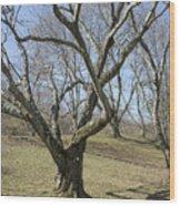 Yellowwood Tree In Winter Wood Print