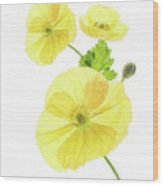 Beauty And Translucency Of Poppies. Wood Print