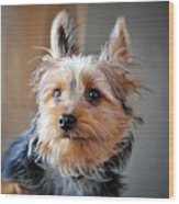 Yorkshire Terrier Dog Pose #3 Wood Print