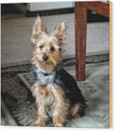 Yorkshire Terrier Dog Pose #6 Wood Print